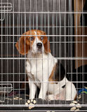Dog in cage. Beagle Dog locked in iron cage Royalty Free Stock Photo