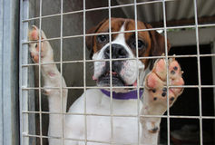 Dog in a cage. A boxer dog in a cage Royalty Free Stock Photos