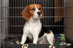 Dog in cage. Sad Beagle Dog sits in cage Stock Photo
