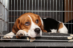 Dog in cage. Sad Beagle Dog lying in cage Royalty Free Stock Photography