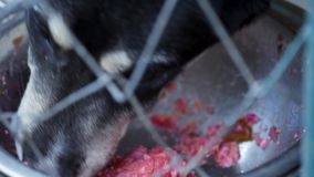 Dog in cage at animal shelter. Dog in his cage at animal shelter waiting to be adopted. Lonely puppy in aviary eating dog food from large bowl stock video