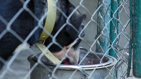 Dog in cage at animal shelter. Dog in his cage at animal shelter waiting to be adopted. Lonely puppy in aviary eating dog food from large bowl stock footage