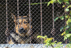 Dog cage. Sad dog cage. German Shepherd waits for the host Royalty Free Stock Photos