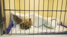Dog in cage after surgery. Dog in a cage on recovery from an operation in a veterinary clinic. Postoperative hospital in an animal hospital with cages for pets Royalty Free Stock Image