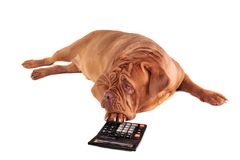 Dog with a Calculator. Dog is full of thoughts of its accounting Royalty Free Stock Photos