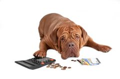 Dog with calculator, cents and credit cards. Dogue de bordeaux worried about its financial state Stock Photos