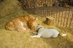A dog and a calf together Royalty Free Stock Photo