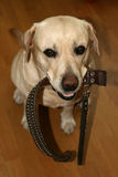 The dog calls to walk. The dog of breed labrador, holds a collar in a mouth Royalty Free Stock Photography