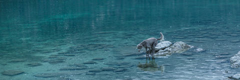 Dog on calm blue lake Aibsee, Germany Stock Images