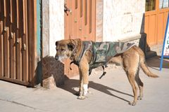 Dog camo vest from the town of Uyuni. Stock Images