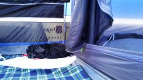 Black Cocker Spaniel Dog Camping Stock Photography