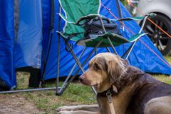 Dog in a camping trip. Dog resting on a camping trip stock images