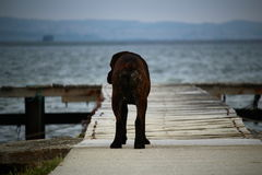Dog cane corso facing the sea royalty free stock photography