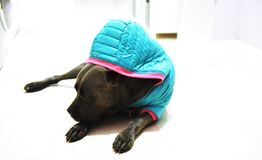 Dog cane corso italian mastiff in wintercoat. There is young cane corso italian mastiff in winter coat , it seems that she likes this dress and feels good before stock photography