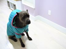 Dog cane corso italian mastiff in wintercoat. There is young cane corso italian mastiff in winter coat , it seems that she likes this dress and feels good before royalty free stock photography