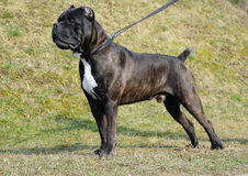 Dog cane corso italian Stock Photography