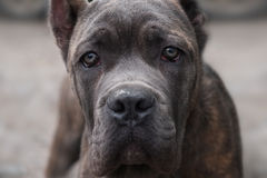 Dog Cane Corso looks directly into the camera Stock Image
