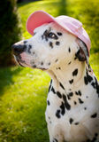 Dog with a Cap Stock Image