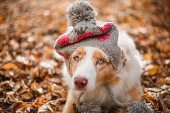 Dog  in cap in fallen leaves. Dog portrait in hat in fallen leaves in autumn park Royalty Free Stock Photos