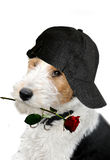 Dog with cap and  rose. Sorry, I don't do it again. Dog apologizes with a red rose in his mouth Stock Photo