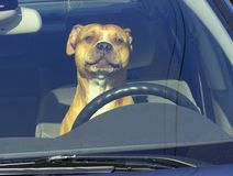 Dog in a car. Dog at the car's wheel Stock Photography