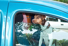 Dog in car Stock Image
