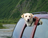 Dog in car. Yellow lab husky cross with her head out the car window ready for a walk in the park stock photos