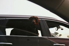 A dog in the car. A beautiful big dog looking through the window of the car Stock Images