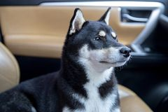 Dog on car. A dog of the breed shiba inu sits seat in the car. Shiba Inu dog in car. Japanese dog black color stock photos