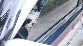 Dog in car stock video