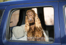Dog in car Stock Photography