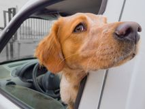 The dog in the car at the driver`s seat . royalty free stock image