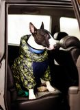 Dog in car. English bull terrier in overalls in the car stock photos