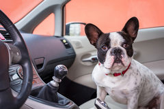Dog in the car Royalty Free Stock Image