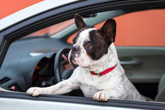 Dog in the car. French bulldog inside the car Royalty Free Stock Photography