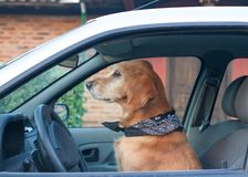 Dog pretending driving a car looking ahead. Golden Retriever dog pretending driving a car looking ahead Stock Photography