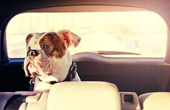 Dog in the car Royalty Free Stock Photos