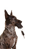 Dog with car keys in his muzzle. Mouth royalty free stock photography