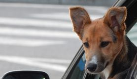 Dog in the car looking back royalty free stock images