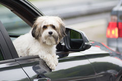 Dog in a car looking through  window Stock Photos
