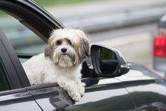 Dog in a car looking through window. Dog in a car looking through open window stock photos