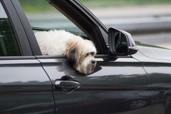 Dog in a car looking through  window Stock Photo