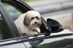 Dog in a car looking through window. Dog in a car looking through open window royalty free stock photo