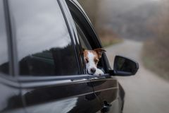 The dog is in the car. pet travel. The dog is in the car. Travel of the pet. Jack Russell Terrier Outside royalty free stock image