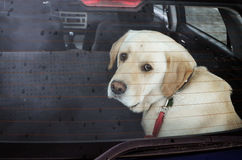 Dog in the car. Sad dog in the car in the rain Stock Image