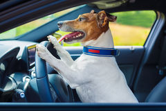 Dog car steering wheel Royalty Free Stock Photo