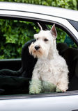 Dog in the car Stock Photo