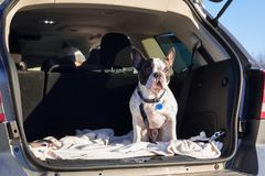 Dog in the car trunk. French bulldog traveling in the car trunk Stock Images