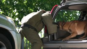 Dog in a car trunk is furiously biting a violator. Property protection exercise stock video footage