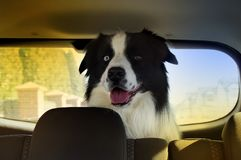 Dog in car waiting for travel royalty free stock photography